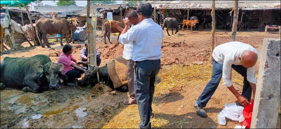 અંકલેશ્વરના કાપોદ્રા ગામની સીમમાં 10 ગાયો અને 3 ભેંસના અચાનક મોત : પંથકમાં ચકચાર