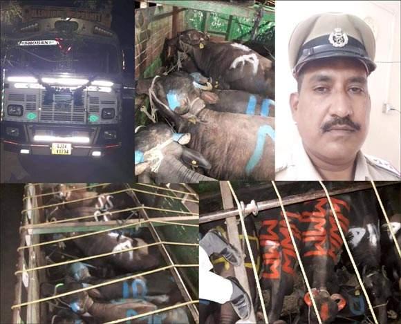 રાજપીપળા નજીકની મોવી ચોકડી પાસેથી 16 ભેંસો ભરેલી ટ્રક ઝડપી પાડતી રાજપીપળા પોલીસ