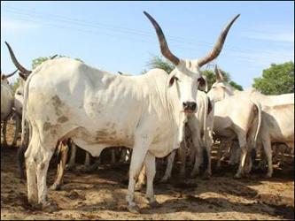 ગુજરાતમાં 'નારી' નામની ગાયની વિશિષ્ટ પ્રજાતિ:રંગે સફેદ 30 હજાર ગાયોનું ચોમાસા પછી ઉત્તર ગુજરાત તરફ પ્રયાણ