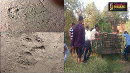 અંકલેશ્વરના દીવા ગામે દીપડો દેખાતા : દહેશત :વનવિભાગ દ્વારા મુકયા પાંજરા