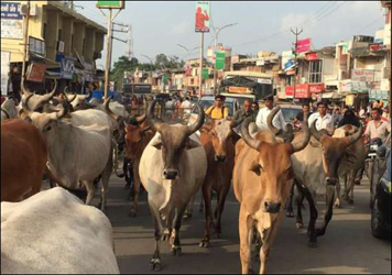 મોડાસામાં રખડતી ગાયોના ત્રાસથી વાહનચાલકો અને રાહદારીઓ ત્રાહિમામ :તંત્ર સામે ભારે આક્રોશ