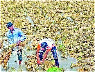 સુરત: દક્ષિણ ગુજરાતમાં કમોસમી વરસાદના પગલે 3 લાખ એકરમાં પાણી ફરી વળ્યું:ડાંગરના પાકને નુકશાન: ખેડૂતોને 200 કરોડનું નુકશાન