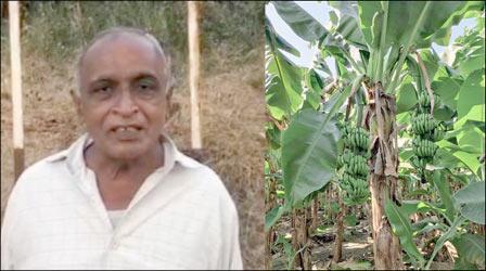 નાંદોદના ગોપાલપુરા ગામના ખેડૂતના ખેતરમાં ચમત્કારિક કેળાની લૂમ જોવા મળતા લોકોમાં ભારે કુતુહલ