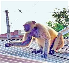 વિજયનગર તાલુકાના પાલ ગામ નજીક કપિરાજનો આતંક:ગ્રામજનોમાં ભયનો માહોલ