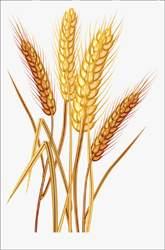 સોમવારથી ઘઉં માટે નોંધણી : ૧૬ મીથી ટેકાના ભાવે ખરીદી