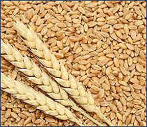 રાજયના ખેડુતો પાસેથી ૧૬મી માર્ચથી લઘુત્તમ ટેકાના ભાવે ઘઉંની સીધી ખરીદી શરૂ કરાશે