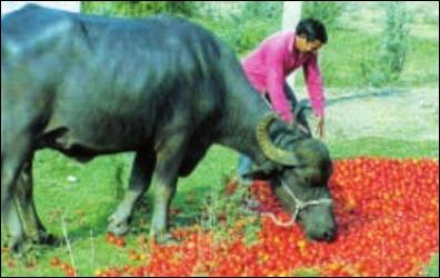 ટમેટાના ખેડૂતોની હાલત ખરાબઃ ટમેટા પશુઓને ખવડાવી દેવા પડે છે