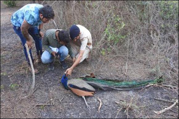 પલસાણાના અંતરોલીમાં રાષ્ટ્રીય પક્ષી મોર અને અન્ય પક્ષીઓના ટપોટપ મોત :વનવિભાગ દોડ્યું